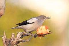 White-shouldered Starling Royalty Free Stock Photo