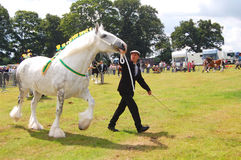 White show horse Royalty Free Stock Photography