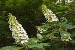 White Showy Flowers of Oakleaf Hydrangea aka oak leaved hydrange Royalty Free Stock Photography