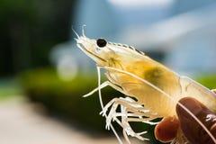 White Shrimp Vannamei Broodstock Stock Images