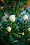 White shrub rose. The white spray rose in the summer.green leaves white roses.blooming rose. the buds are not blooming roses Royalty Free Stock Photos