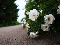 White shrub roses spread large buds flowers. Flowering roses in spring and early summer. royalty free stock photos