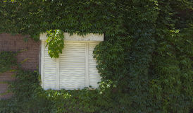 White shutter. S on weathered wall with vines Royalty Free Stock Photos