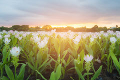White siam tulip in public park with sunset tone background. Natural landscape background Stock Photo