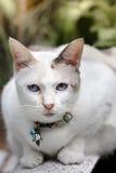 White siamese cat  sitting on  bench in garden. Royalty Free Stock Photos