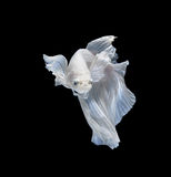White siamese fighting fish, betta fish isolated on black backgr Royalty Free Stock Photo