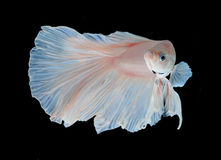 White siamese fighting fish, betta fish isolated on black background. stock image