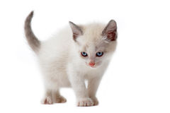 White siamese kitten Stock Photos