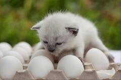White  siamese kitten on eggs in the autumn garden. White kitten sitting on eggs Stock Photo