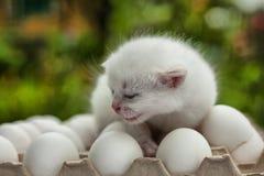 White  siamese kitten on eggs in the autumn garden. White kitten sitting on eggs Royalty Free Stock Photo