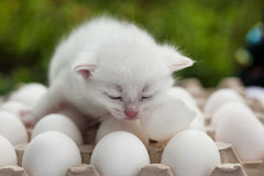 White  siamese kitten on eggs in the autumn garden Stock Photo