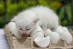 White  siamese kitten on eggs in the autumn garden Royalty Free Stock Photo