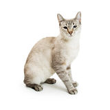 White Siamese Mixed Breed Cat Stock Image