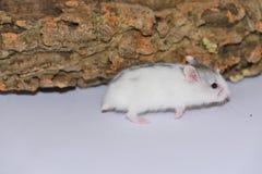 White siberian hamster runs Royalty Free Stock Photography