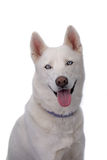 White Siberian Husky with Blue Eyes Stock Images