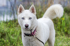 White Siberian Husky dog Royalty Free Stock Image