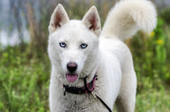 White Siberian Husky dog Stock Photography