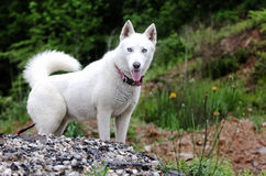 White Siberian Husky dog Royalty Free Stock Photos