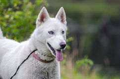 White Siberian Husky dog Stock Photos