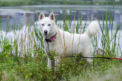 White Siberian Husky dog Royalty Free Stock Images