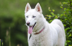 White Siberian Husky dog Stock Photo