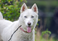 White Siberian Husky dog Stock Images
