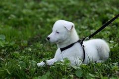 Hasky puppy Stock Image
