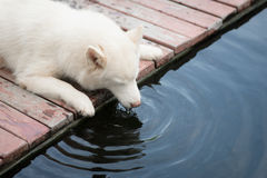 White siberian husky puppy lying and drinking. Water from koi pond Stock Photo