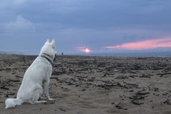 White siberian husky watching sunset over the sea Royalty Free Stock Images