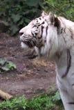 White siberian tiger Stock Photo