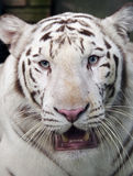 White Siberian tiger - close up Royalty Free Stock Photo