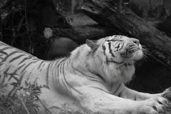 White siberian tiger stretching Royalty Free Stock Photography