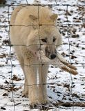 White siberian wolf with a rabbit in its mouth Stock Images