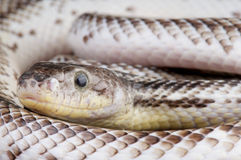 White sided black ratsnake Stock Image