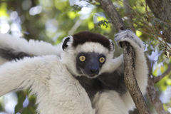 White sifaka lemur surprised in the forest Stock Image