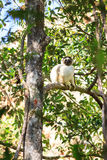 The white sifaka Stock Photography