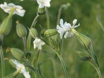 White Silene in the evening Royalty Free Stock Image