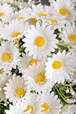 White silk daisies. Great image of some white silk daisy flowers Stock Photos