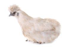 White silkie chicken Royalty Free Stock Photos