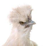 White silkie chicken Stock Image