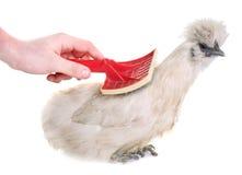 White silkie chicken grooming Stock Photo