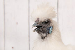 White Silkie chicken in henhouse Royalty Free Stock Photography