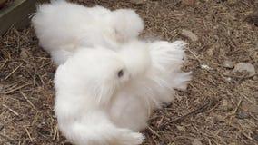 White Silkie chicken preening in free range at farm, outdoor
