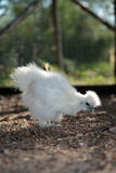 White Silkie Chicken Stock Image