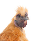 White Silkie Stock Images