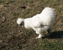The white Silkie or Silky chicken in the farm Stock Photo