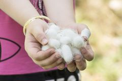 White silkworm cocoons shell on young girl hands- source of silk thread and silk fabric. White silkworm cocoons shell on young girl`s hands, source of silk stock photos