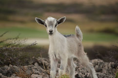 White and SIlver Baby Kid Goat in Aruba. Baby kid goat in the wild of Aruba royalty free stock photography