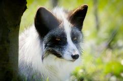 White Silver Fox Royalty Free Stock Image