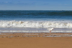 White Silver Gull waterbird walking along the Torquay beach on t Royalty Free Stock Image